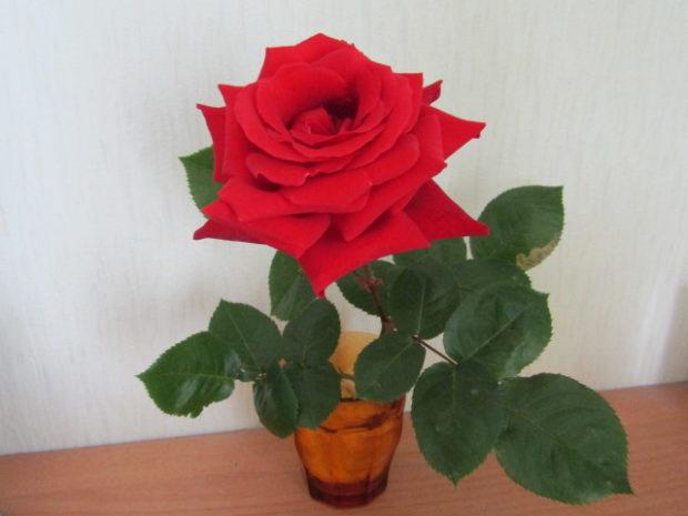 赤いバラです。