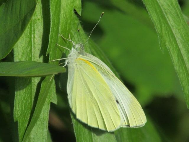 草にとまっているモンシロチョウです。