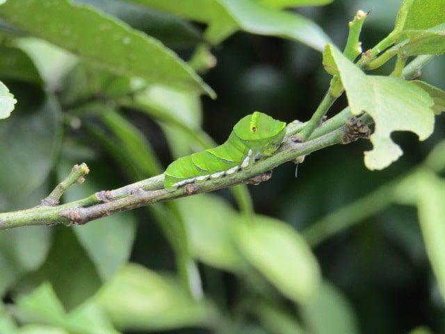 アゲハチョウの幼虫です。