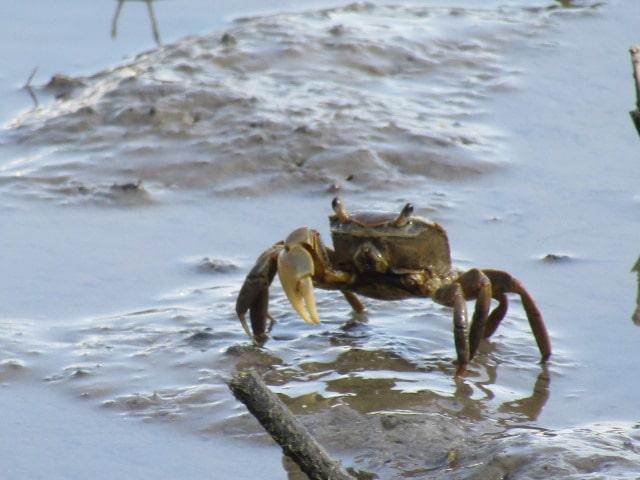 多摩川の干潟のクロベンケイガニです。