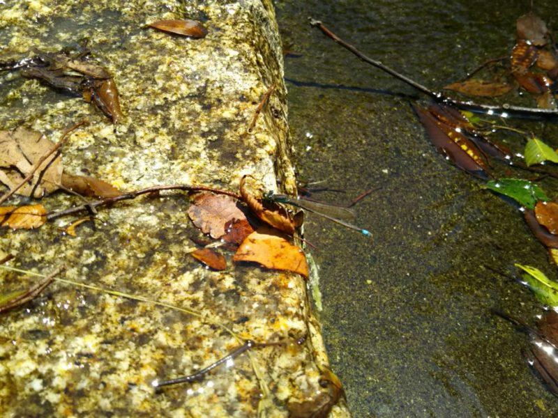 萩中公園の糸蜻蛉です。
