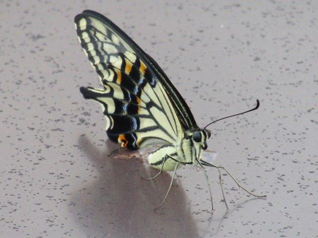 アゲハチョウです。