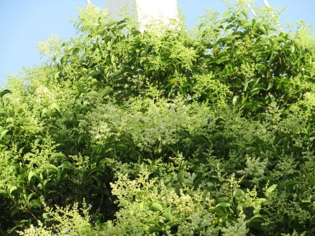多摩川の大師橋のたもとの木です。