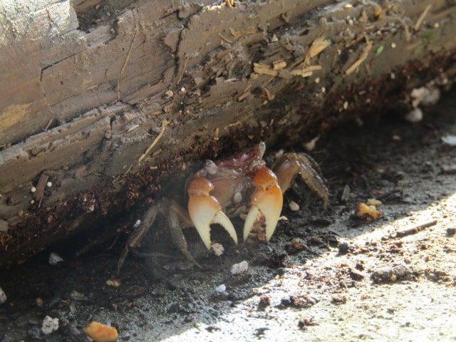 多摩川の干潟の蟹です。