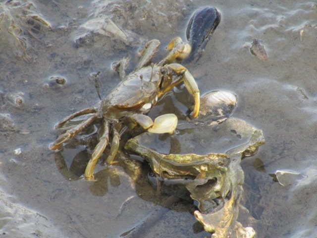 多摩川の干潟でえさを食べるクロベンケイガニです。