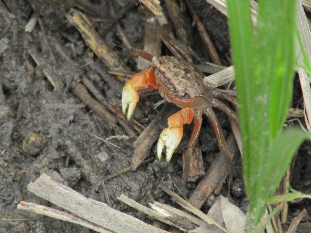 多摩川河川敷の蟹です。