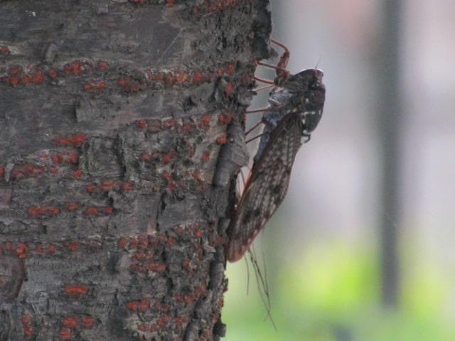 多摩川河川敷の木にとまる蝉です。