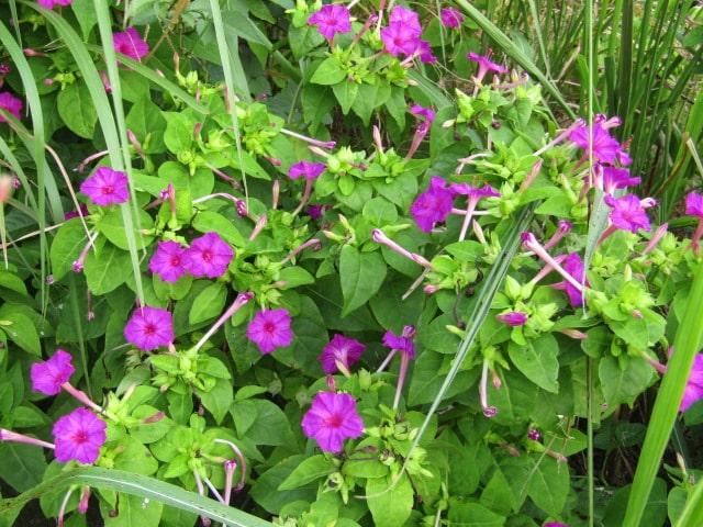 多摩川河川敷のおしろい花です。