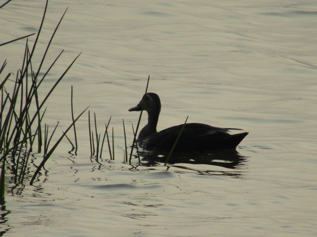 多摩川の河口付近の鴨です。