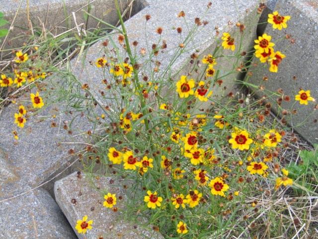 多摩川河川敷に咲いていた花です。