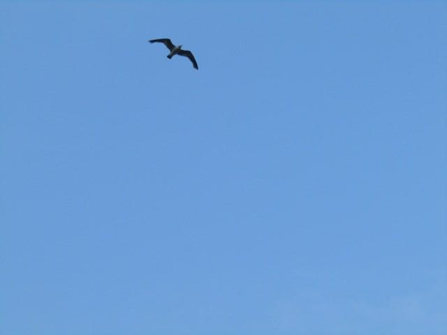 多摩川河川敷上空を飛ぶカモメです。