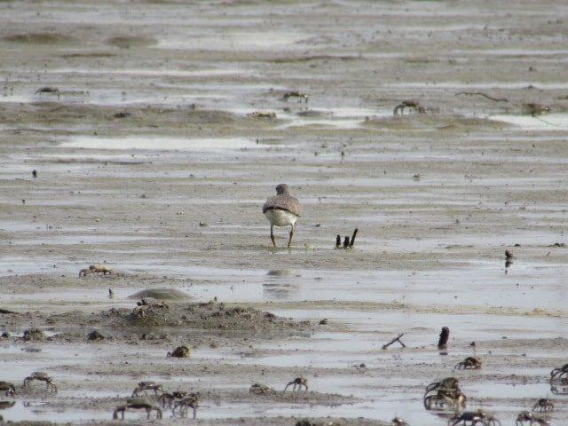 多摩川の干潟を駆け回るシギの仲間です。