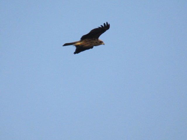 空を飛ぶトンビです。