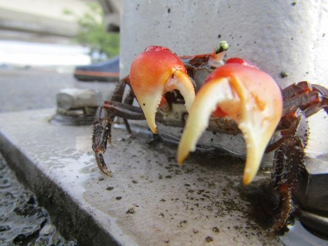多摩川の土手の上にいたアカテガニです。