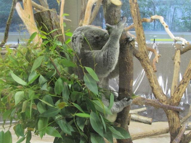 金沢動物園のコアラです。