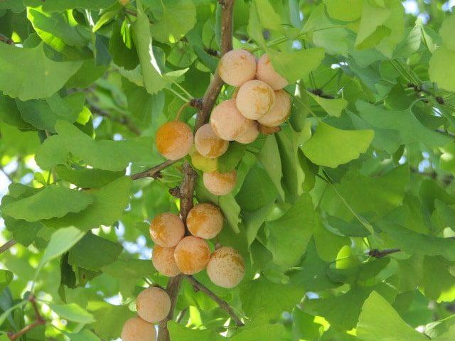 公孫樹の木に実った銀杏です。