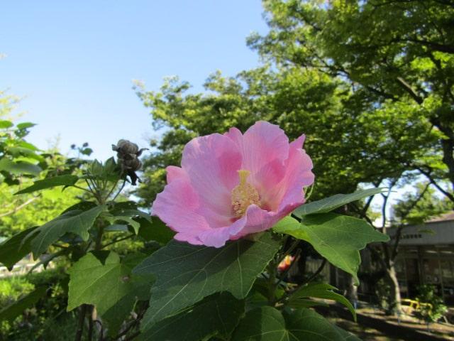 萩中公園の芙蓉です。