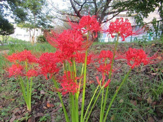 本羽田の公園に咲いていた彼岸花です。