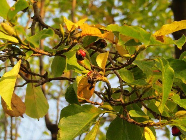 萩中公園のこぶしの木です。