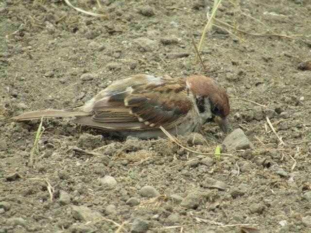 萩中公園でえさを探す雀です。