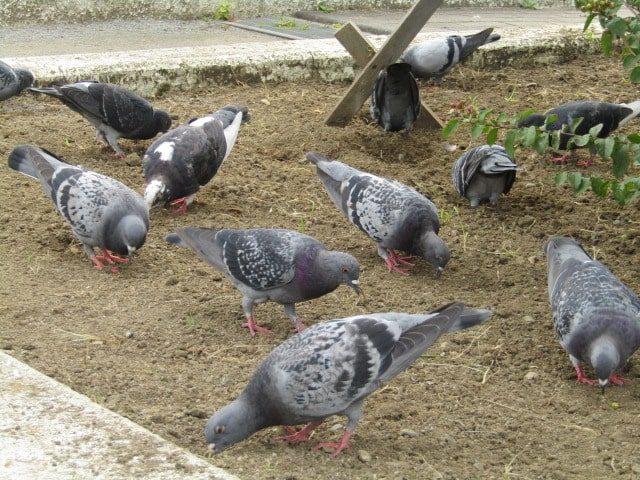 萩中公園でえさをついばむ鳩の群れです。
