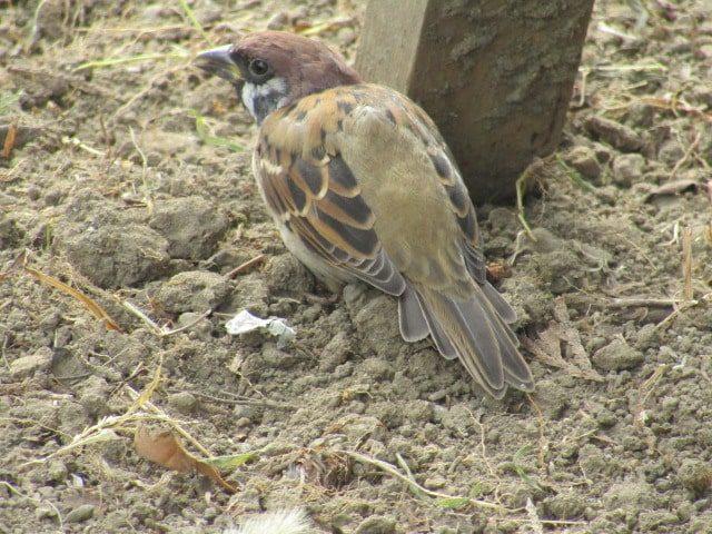 萩中公園の雀です。