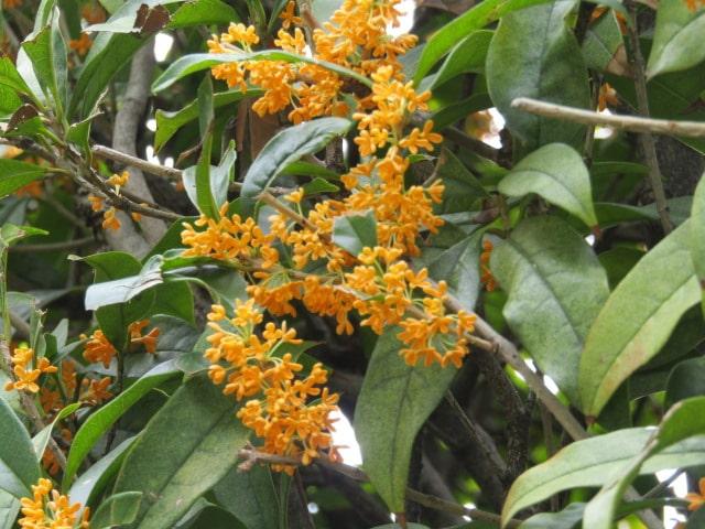 萩中公園のキンモクセイの花です。