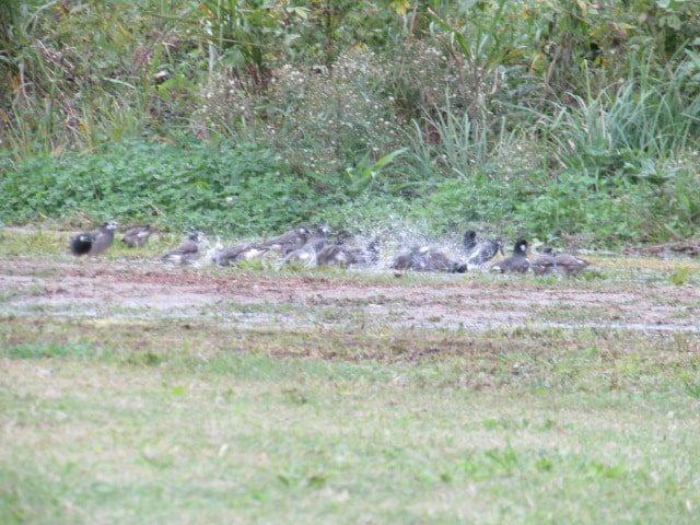 多摩川大師橋緑地で水浴びするムクドリの群れです。