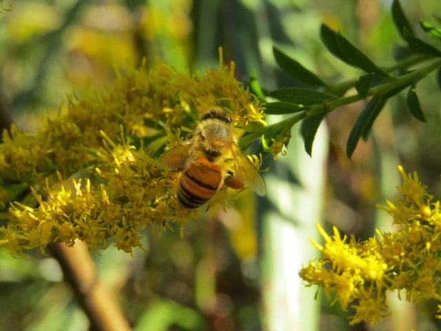 多摩川河川敷のセイタカアワダチソウにいたセイヨウミツバチです。