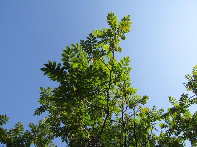 多摩川河川敷の木です。