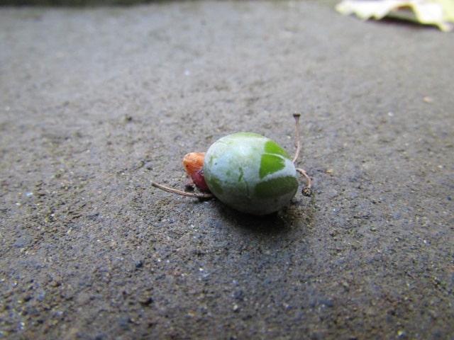 落ちていた植物の種です。