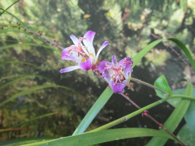 お寺の境内の池の前の花です。