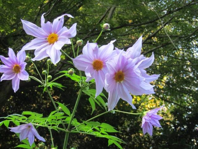 コダチダリアの花です。