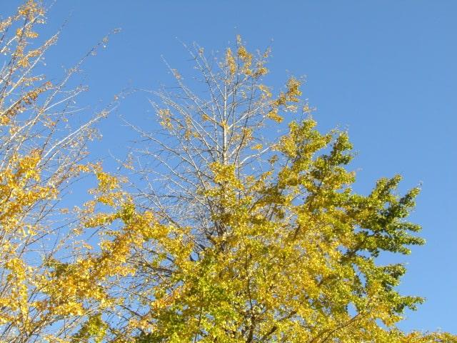 萩中公園のイチョウの木です。