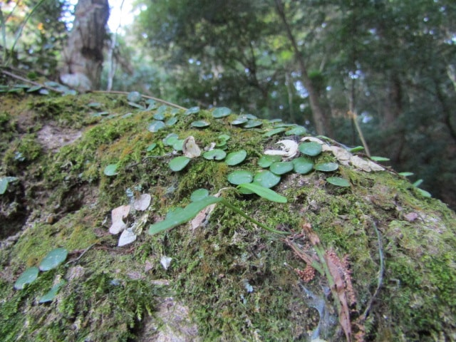 木に生えた苔です。