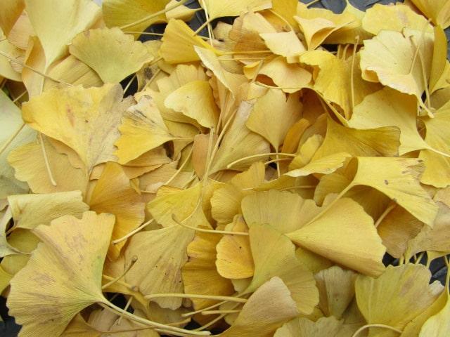 萩中公園で集めたイチョウの葉です。