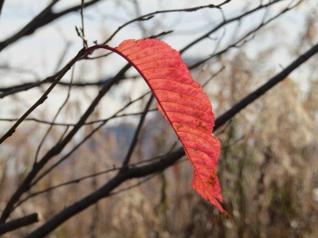 多摩川河川敷の紅葉した葉です。