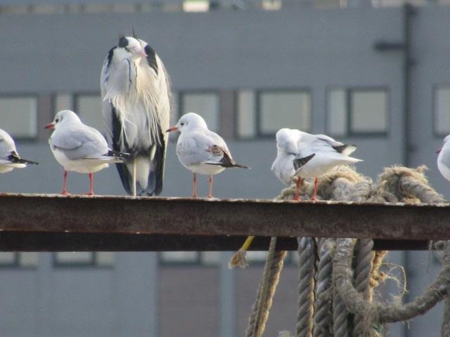 多摩川河口付近の鳥たちです。
