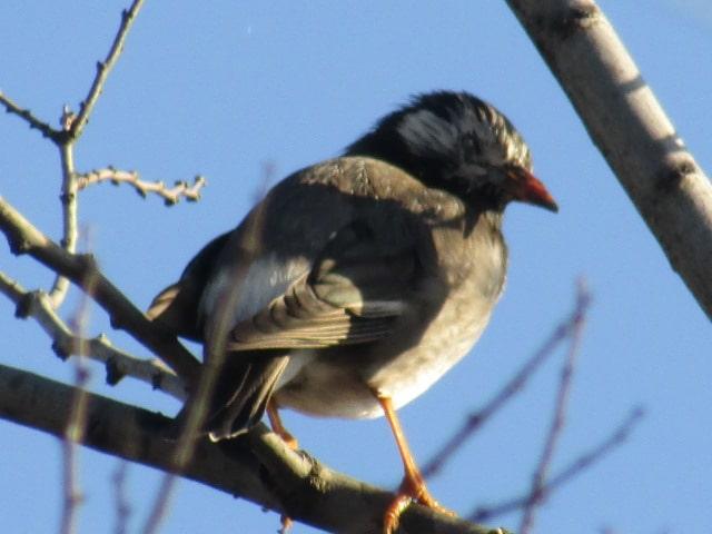 多摩川の河川敷の木にとまるムクドリです。
