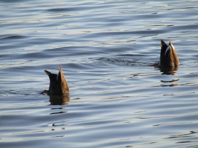 多摩川の河口付近で餌を探す鴨のつがいです。