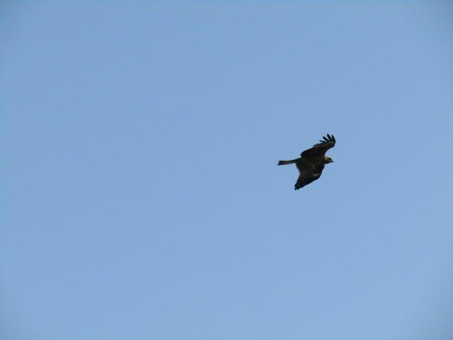 多摩川上空を飛ぶトンビです。