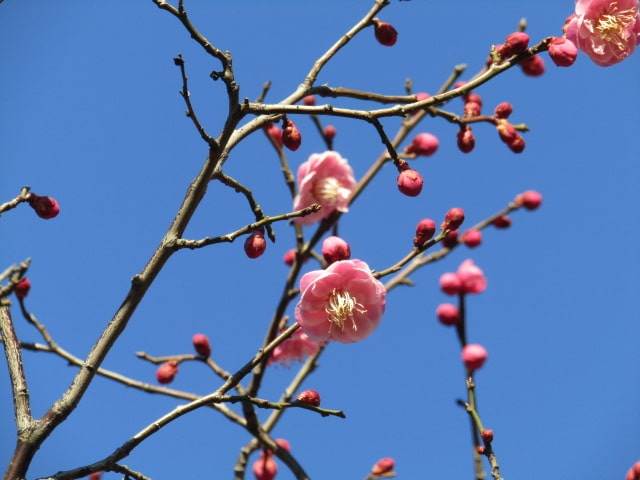 萩中公園の紅梅です。