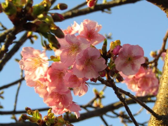 萩中公園の少年野球場の前の河津桜です。