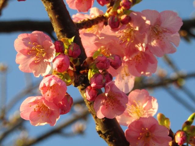 萩中公園の少年野球場の近くの河津桜です。