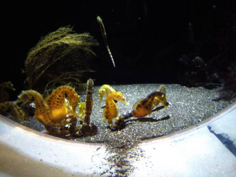 水族館のタツノオトシゴです。