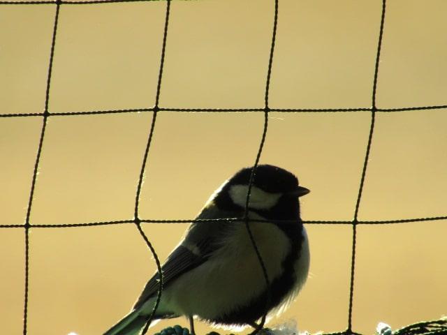 野球場のネットにとまるシジュウカラです。