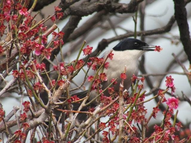 梅の花をくちばしでつまむオナガです。
