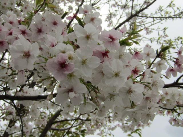 多摩川河川敷の桜です。