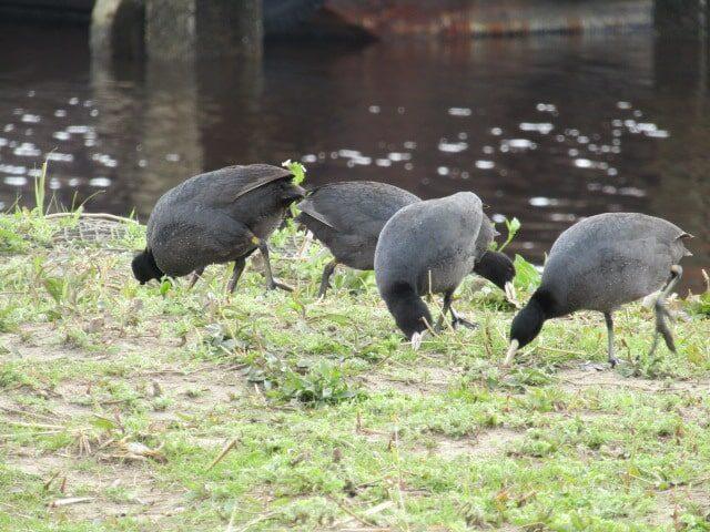 多摩川河川敷のオオバンの群れです。