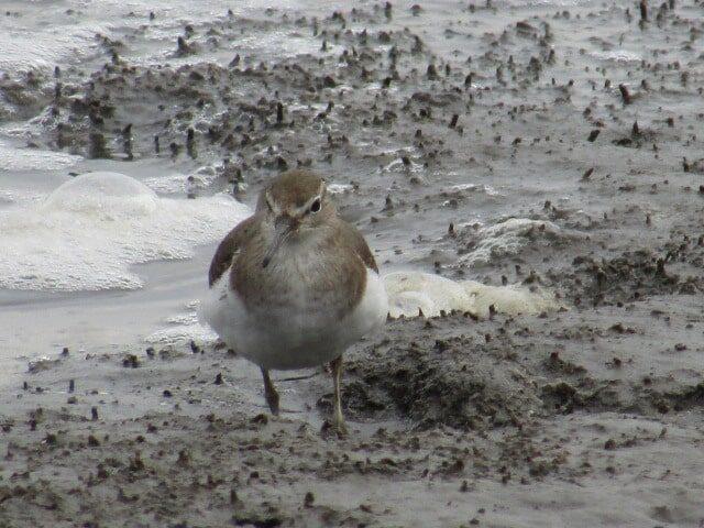 多摩川の干潟で見たイソシギです。